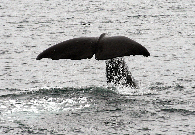 800px-Tail_Shot_Rear_-_Sperm_Whale_Kaikoura_NZ.jpg