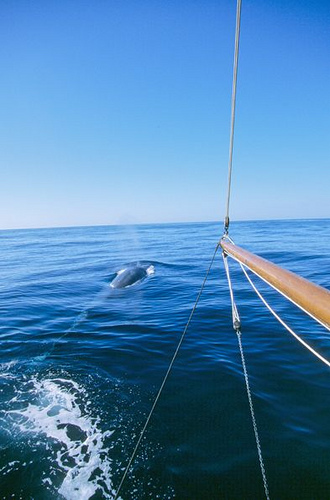 Fin-whale watching-study (C) Fondation Nicolas hulot-Flickr.jpg