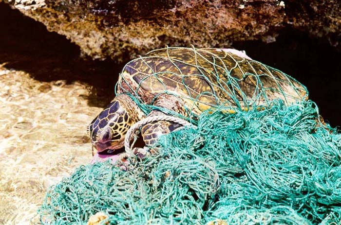 Turtle_entangled_in_marine_debris_(ghost_net).jpg