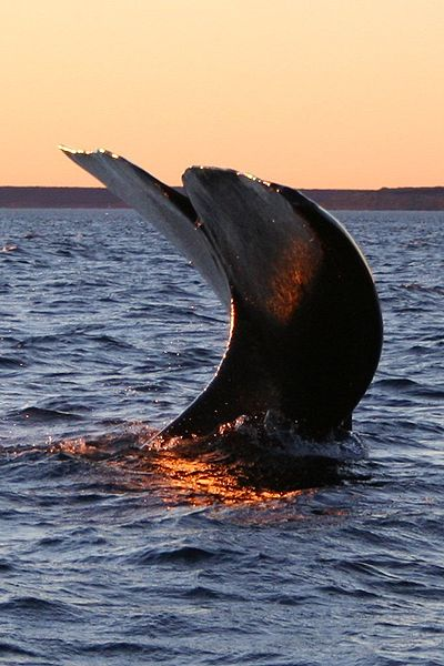 400px-Southern_right_whale4.jpg