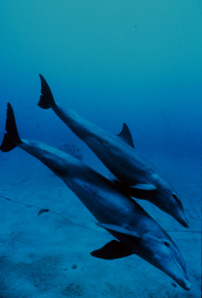 408px-Bottlenose_dolphin_mother_and_juvenile.jpg