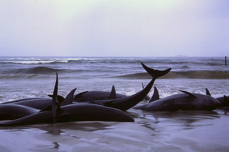 800px-1986_beached_whales_in_Flinders_Bay_(2).JPG