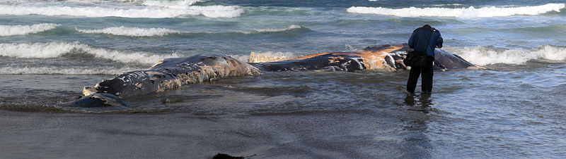800px-A_photographer_is_taking_picture_of_a_dead_whale_washed_ashore_at_Ocean_Beach.jpg