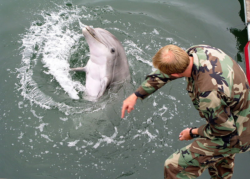 800px-Military-trained-dolphin.jpg