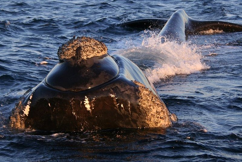 800px-Southern_right_whale2.jpg