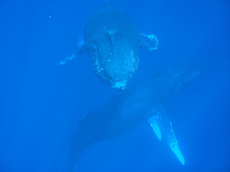 800px-Two_Whales_Up-Close.jpg