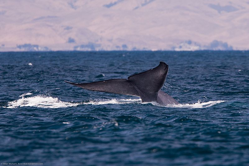 800px-Blue_whale_tail9(C) Creative Commons Wikipedia 0302.jpg