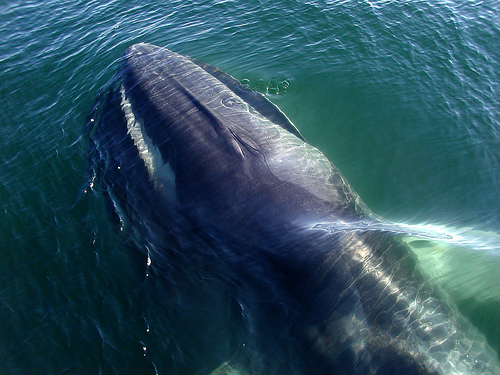 Fin whale (C) dryoptera_Flickr.jpg
