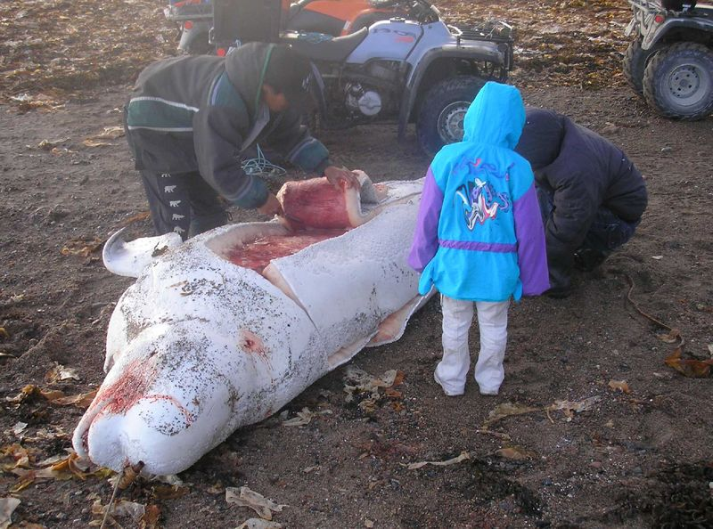 Hudson bay-Subsistence whaling-2007 (C) Polargeo_Wikidepia Creative Commons.jpg