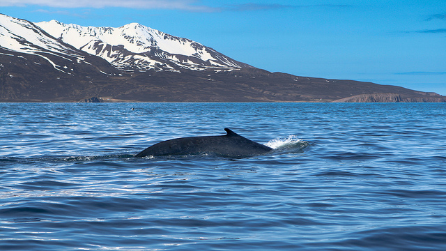 baleine_arctique_flickr_copyright_squallidon.jpg