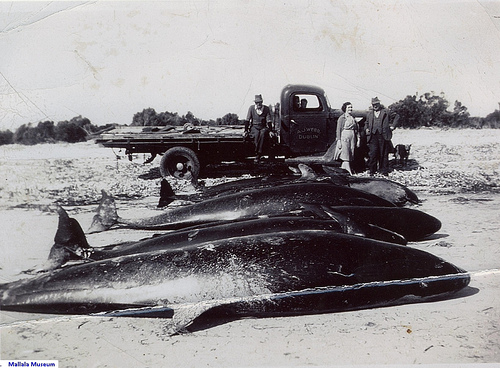whales (C) mallala museum_Flickr.jpg