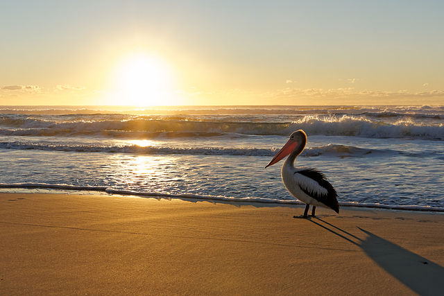 Australian_Pelican_watching_beach_sunrise.jpg