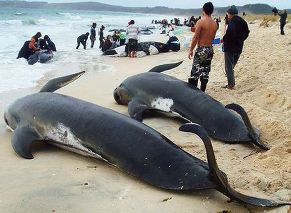 beached-whales-nz.jpg