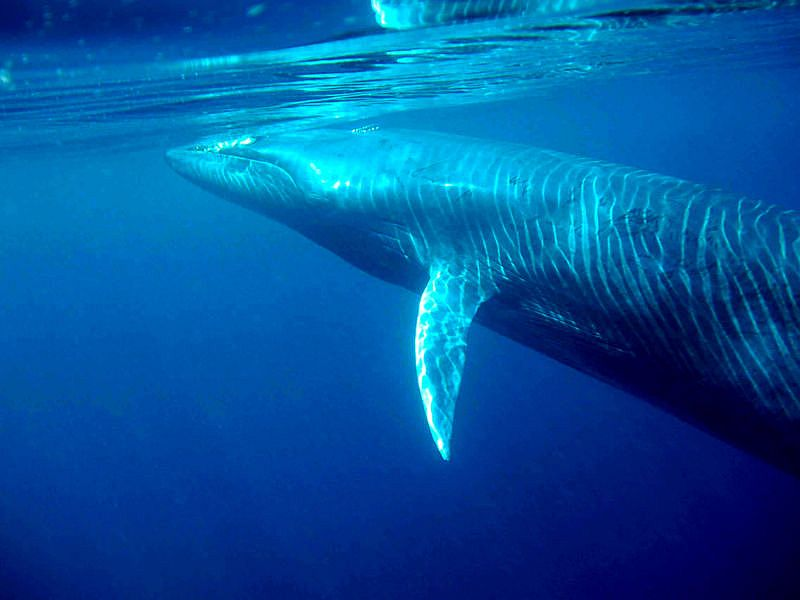 Bryde_s_whale_(C)_morningdew.jpg
