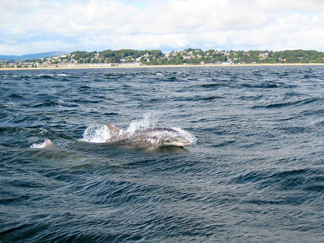 Dolphins_in_the_Firth_of_Tay_-_geograph.org.uk_-_535458.jpg