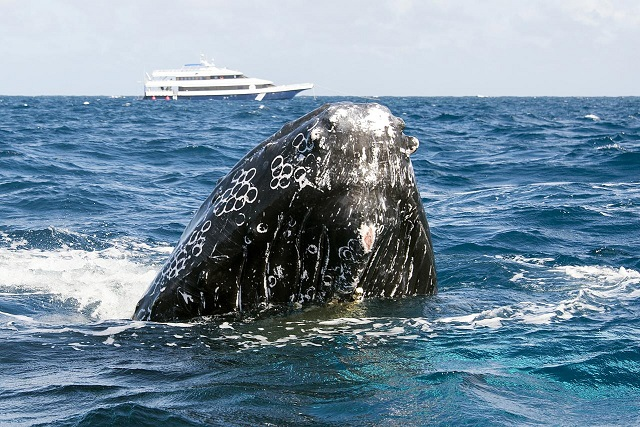 Humpback_Whales_-_Flickr_-_Christopher.Michel_(14).jpg