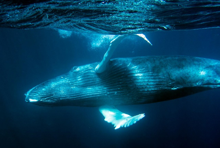 Humpback_Whales_-_Flickr_-_Christopher.Michel_(51).jpg