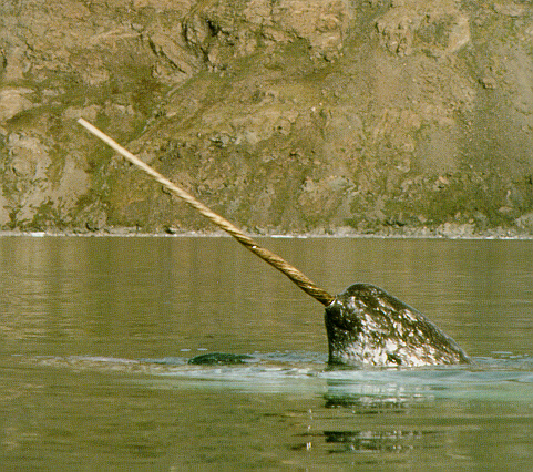 Narwhal_(C)_Chris_Corwin-Flickr 16 10 13.jpg