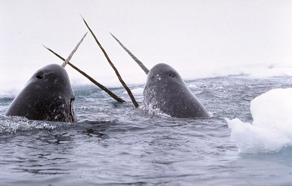 Narwhals_breach 01 10 14.jpg