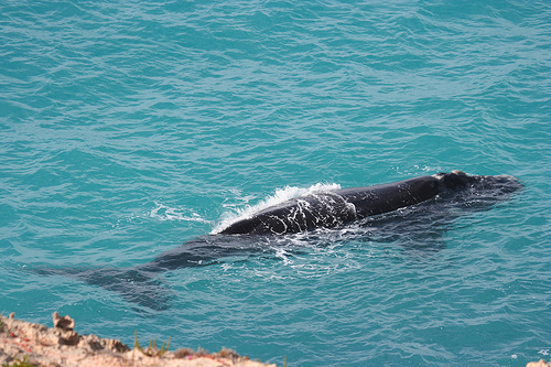 South Autralia--whale-- (C) robdownunder_Flickr.jpg