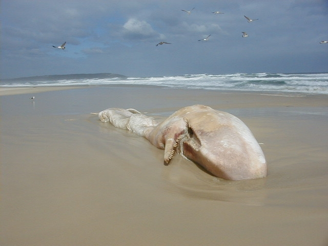 Sperm_whale,_Hawston,_South_Africa.JPG