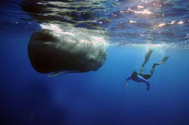 Steve_Backshall_with_Sperm_whale.jpg