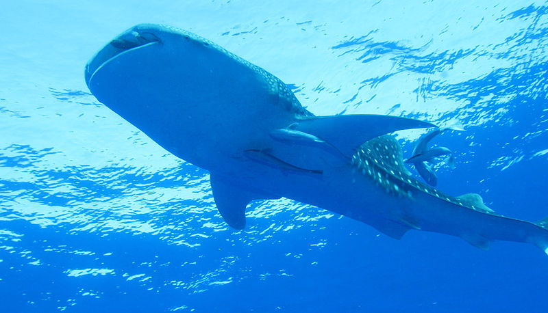 The_Whaleshark_Collection_at_Daedalus_Reef,_Red_Sea,_Egypt_looking_up_to_surface,_closer_(6147783846).jpg
