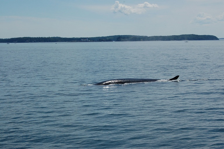 Whale_in_Bay_of_Fundy_03.jpg