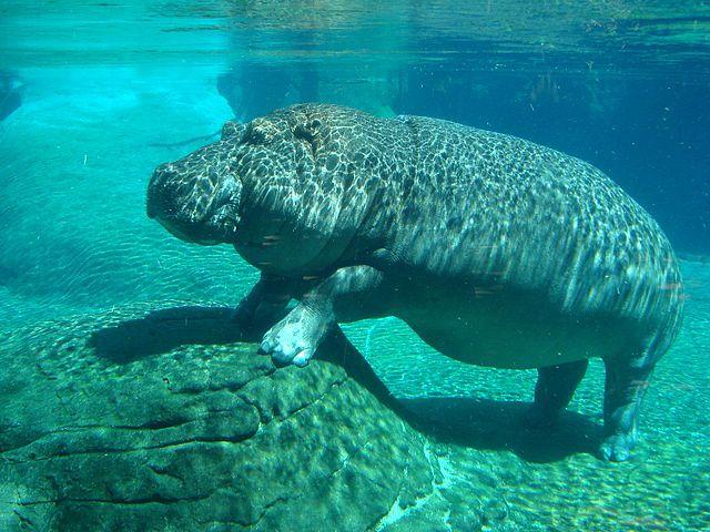 bélugas baleine taille