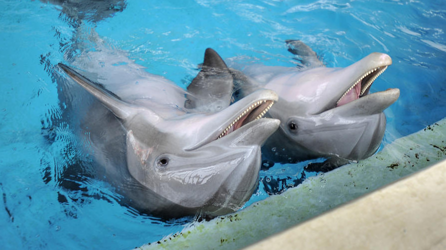 Les dauphins Tursiops Chesapeake et Maya pendant une session d'entraînement à l'Aquarium National de Baltimore. (Lloyd Fox, Baltimore Sun)