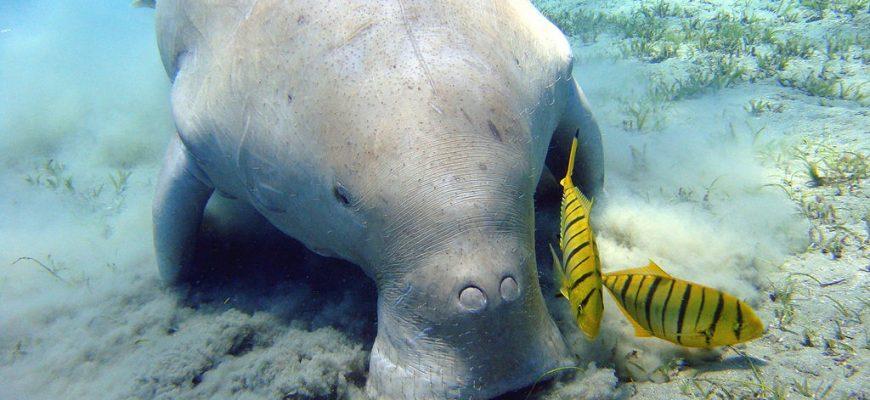 1024px-dugong_marsa_alam