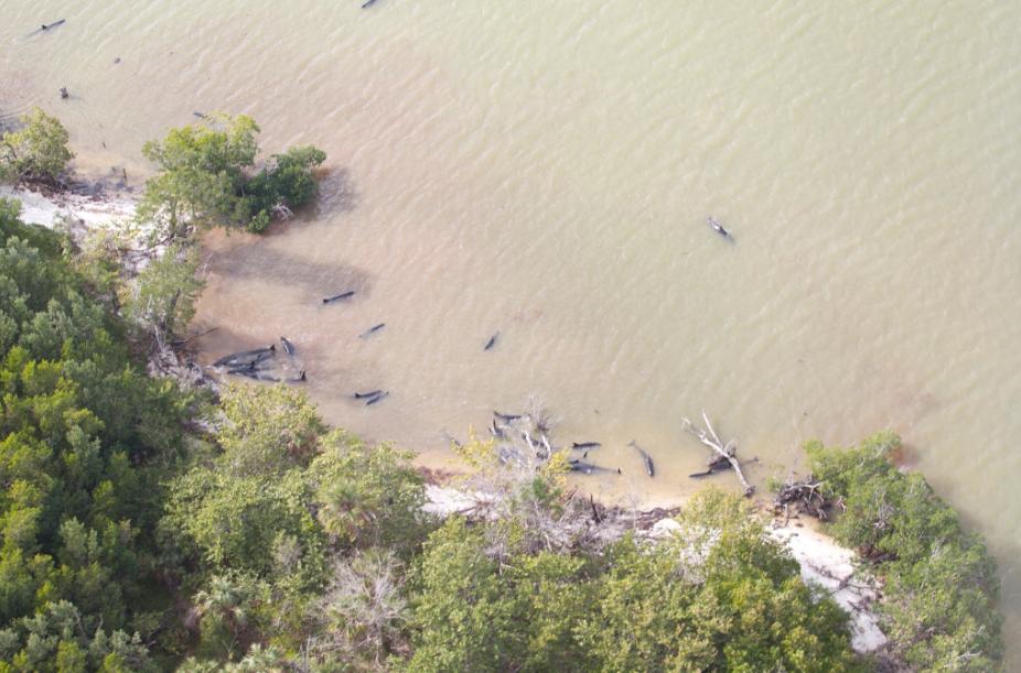 Plus de 80 fausses orques ont trouvé la mort mardi 17 janvier 2017 après s'être échouées dans un mangrove de Floride. - Parc national des Everglades