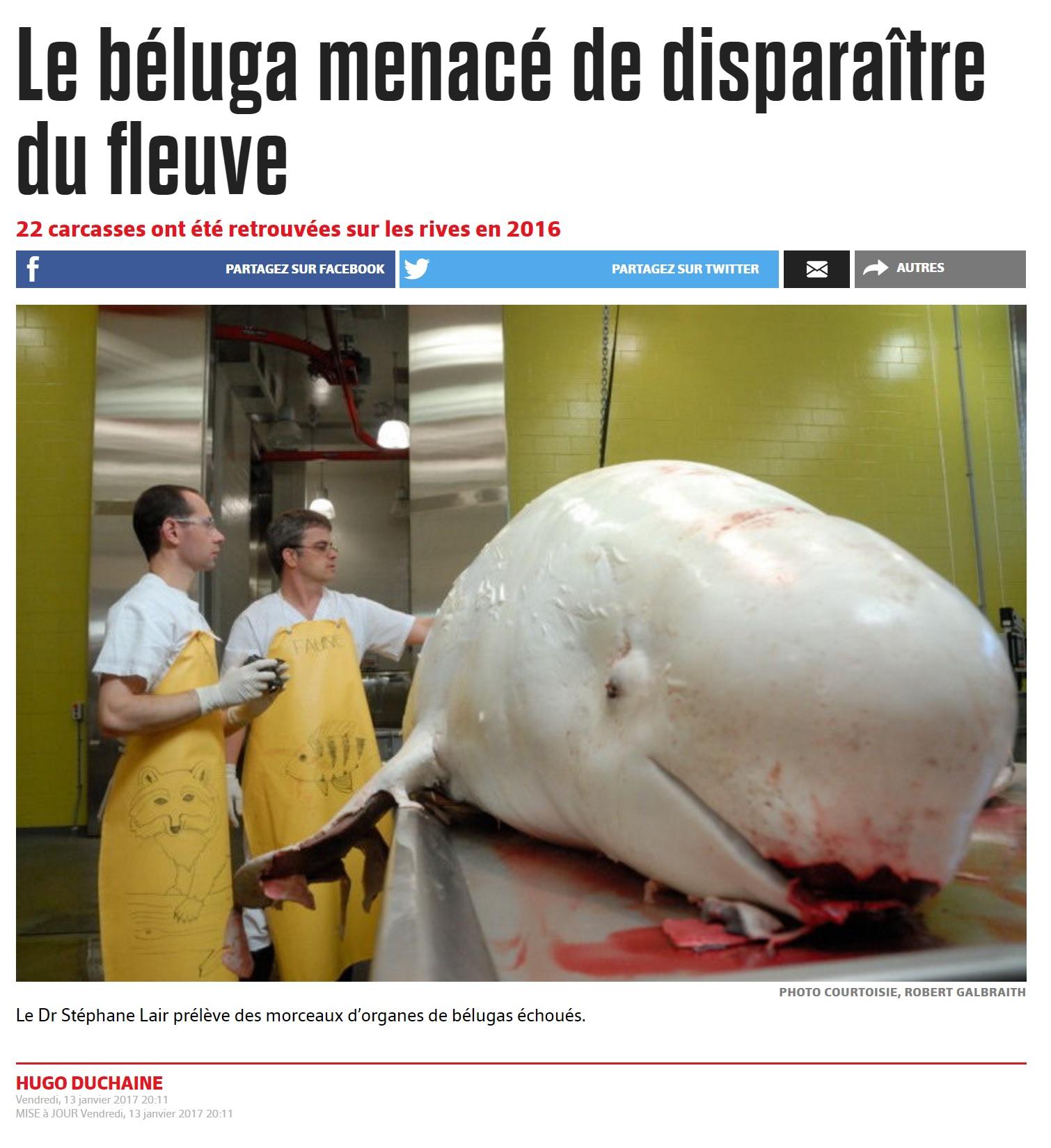 Beluga menacé