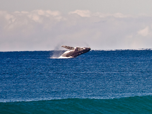 Humpack (C) Michael Dawes_Flickr 2109.jpg