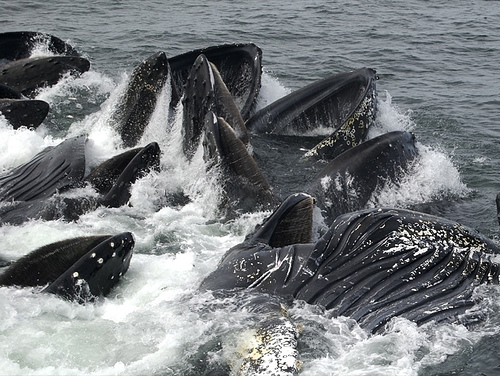 Humpbacks (C) Peat Bakke-FLickr.jpg