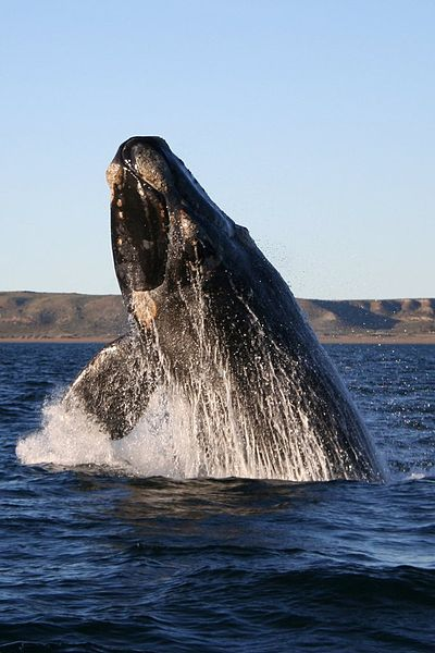 400px-Southern_right_whale.jpg