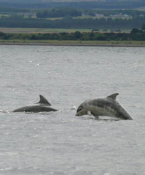 498px-Baby_bottlenose_dolphin_shannonry_point_2006.jpg