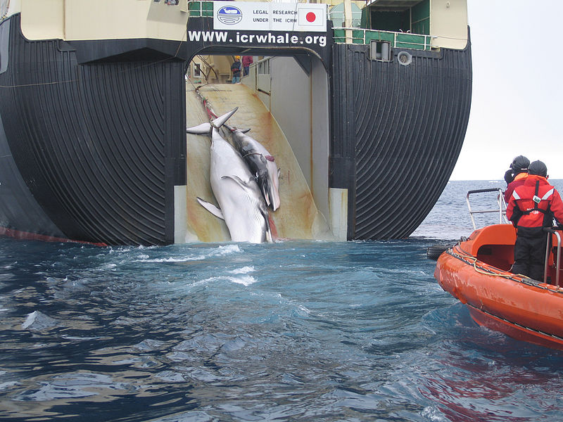800px-Japan_Factory_Ship_Nisshin_Maru_Whaling_Mother_and_Calf.jpg