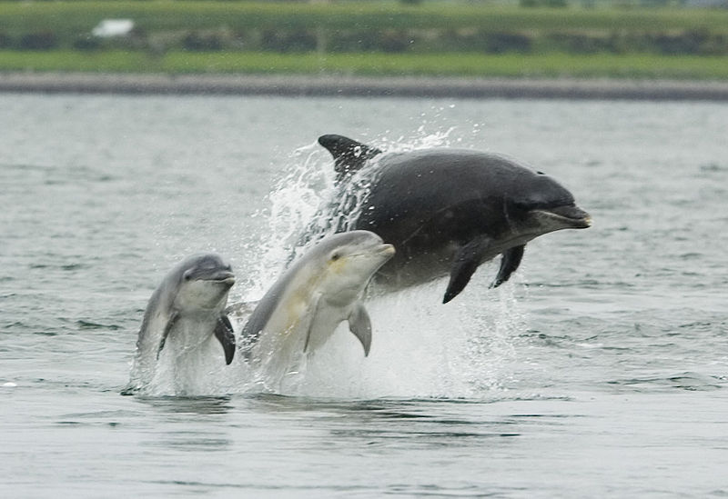 800px-Bottlenose_dolphin_with_young.JPG