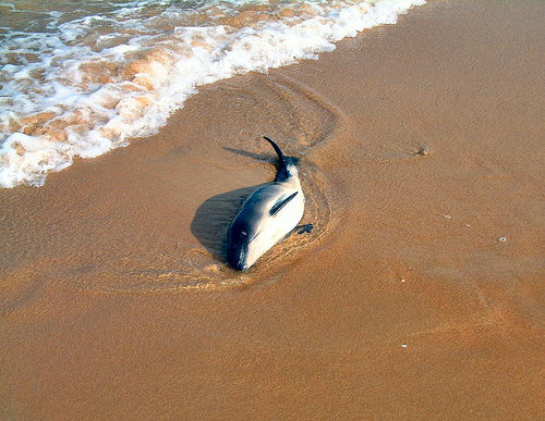 Beached porpoise killed by bottlenose dolphin(C) ccgd_FLickr.jpg