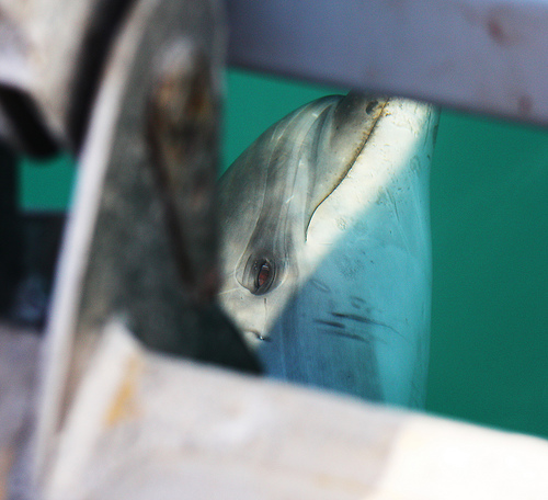 DOlphin-New Zealand-close up C) Jonnyr1_FLickr.jpg