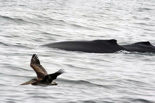 Whales -pelican (C) Just chaos- FLickr.jpg