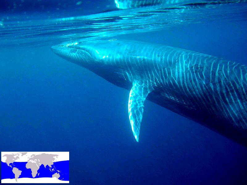 Bryde s whale (C) morningdew.jpg