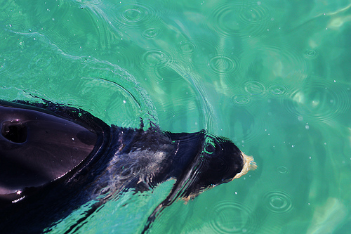 DOlphin-New Zealand (C) Jonnyr1_FLickr 23 10 13.jpg