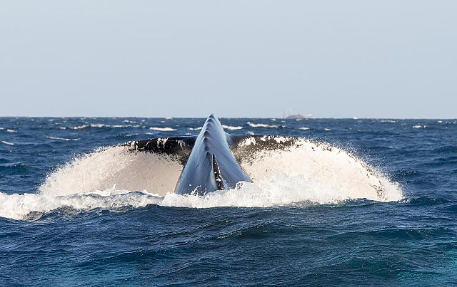 Humpback_Whales_-_Flickr_-_Christopher.Michel_(30) 05 03 15.jpg