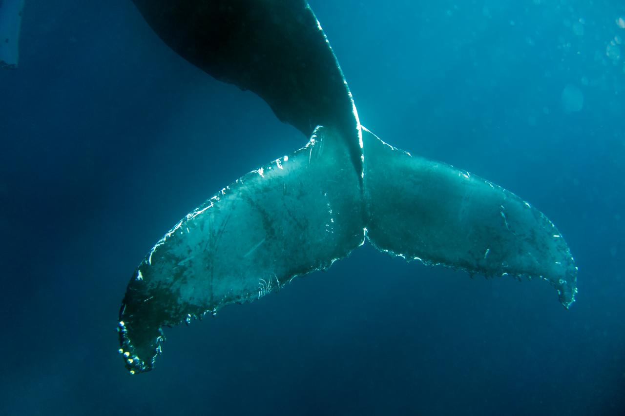 Humpback_Whales_-_Flickr_-_Christopher.Michel_(44).jpg