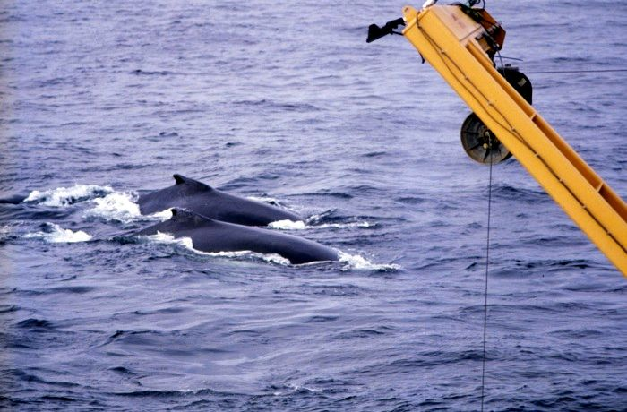 Humpback_whale_Photo_Credit_(C)US_National_Oceanic_and_Atmospheric_Administration.jpg