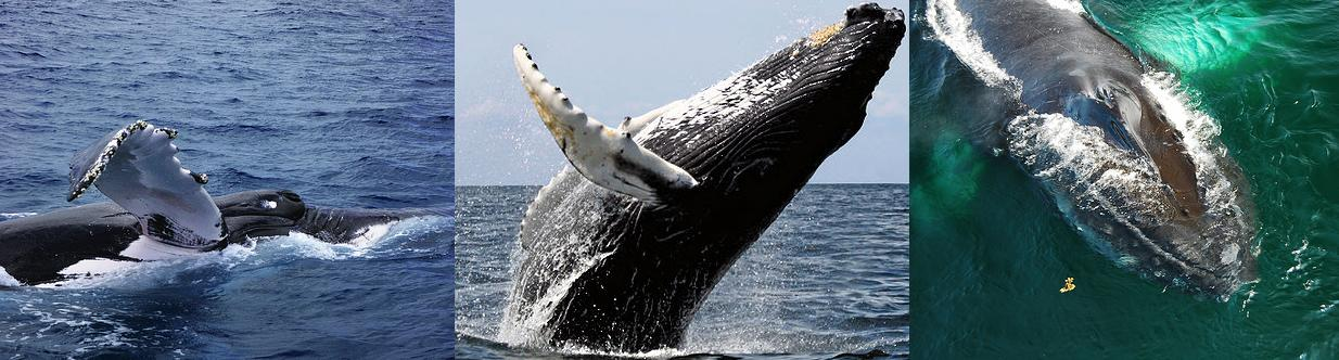 Humpback_whales_(C)_Foips-_Richard_Fisher-Wit_Welles-FLickr.jpg