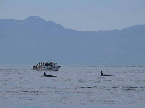Killer-whale watching (C) Funnyfence -flickr.jpg