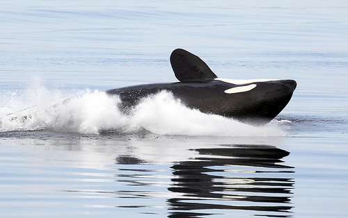 Orca - lateral (C) Christopher michel-flickr.jpg